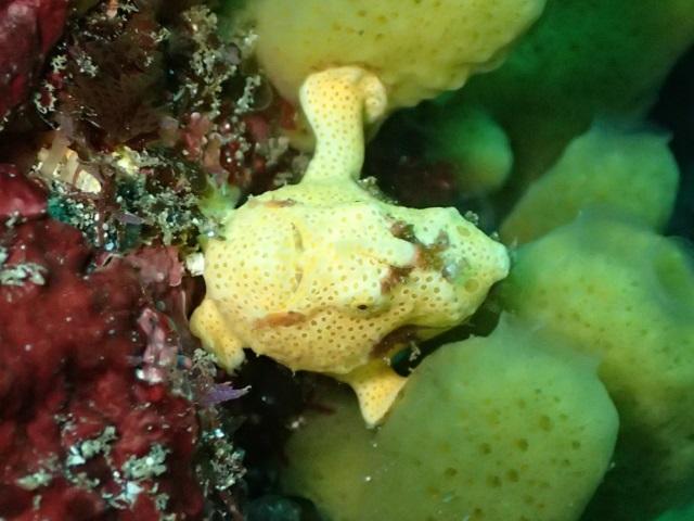 黄色の体にドット柄が可愛いいイロカエルアンコウ