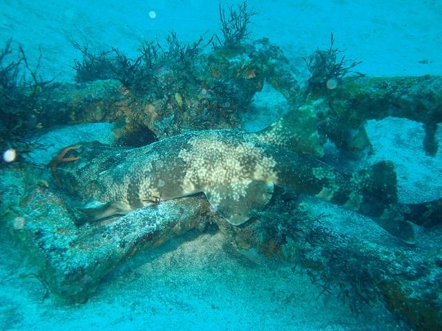 砂地沖漁礁の鉄枠にはまるオオセ