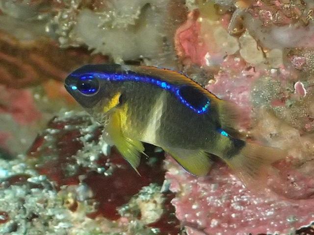 2週間でこの変化、ミヤコキセンスズメダイ幼魚