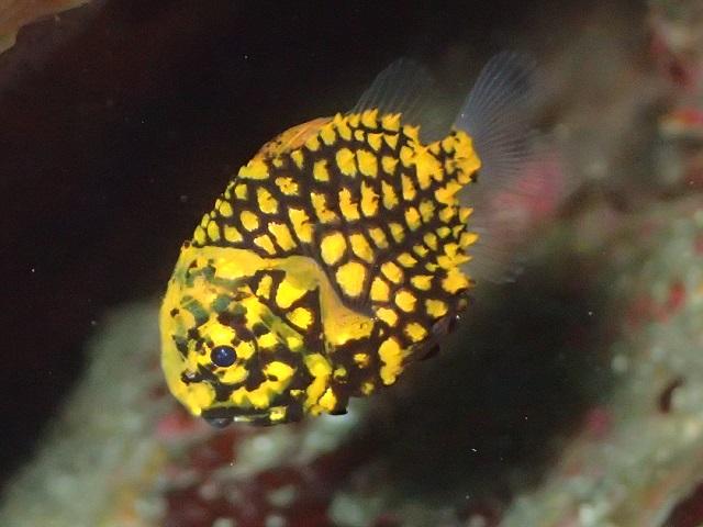徐々に成長、マツカサウオ幼魚 金色に光る体が鮮やかな体色が幼魚の特徴です。