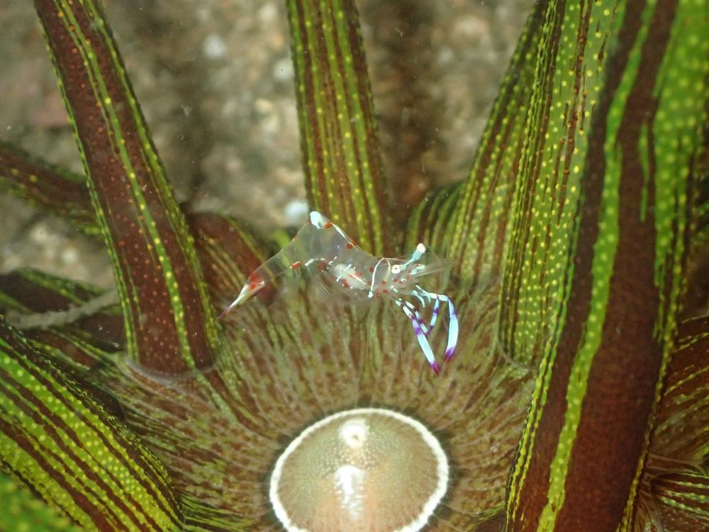 緑、タテスジ模様のスナイソギンチャクとハクセンアカホシカクレエビ