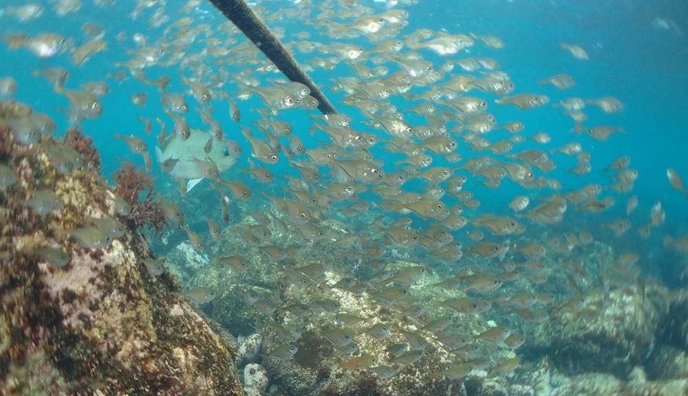 海の青さとミナミハタンポ幼魚のコラボレーション