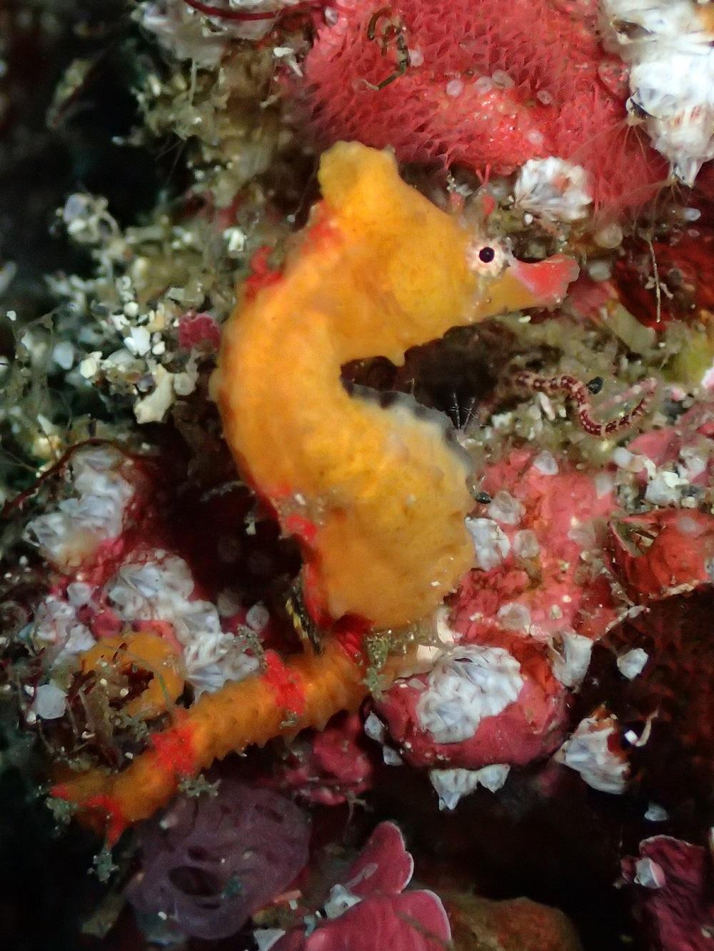 ふらふらと体を動かすハナタツ幼魚