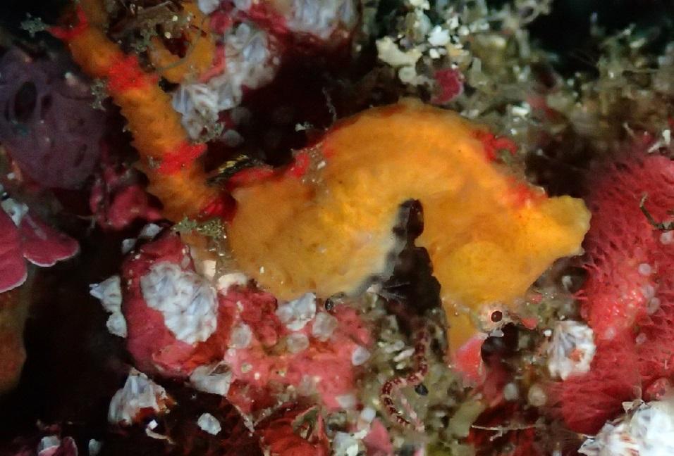 ハナタツ幼魚