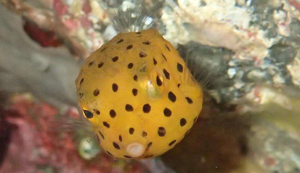 人気のあるミナミハコフグ幼魚