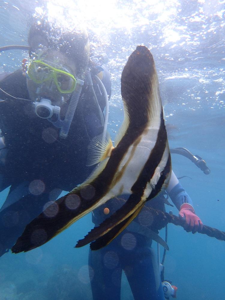 漂うナンヨウツバメウオ幼魚
