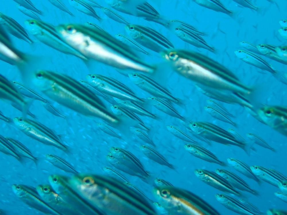 イサキ幼魚の群れ