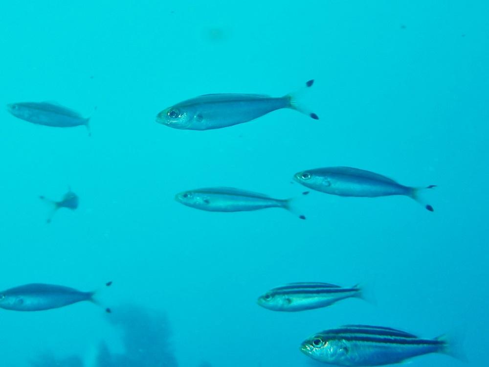 沖縄の県魚・グルクン