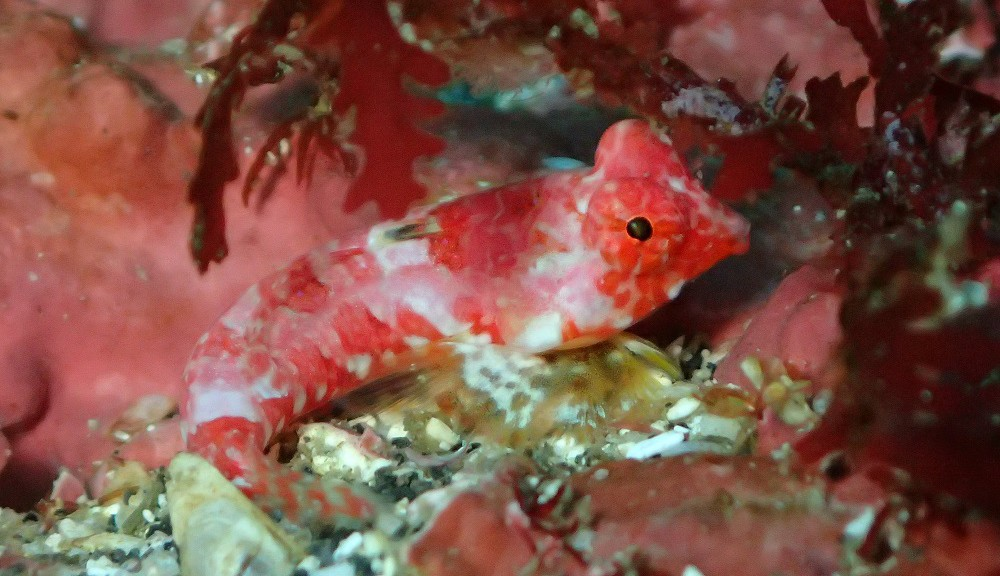 久々登場、ミヤケテグリ幼魚