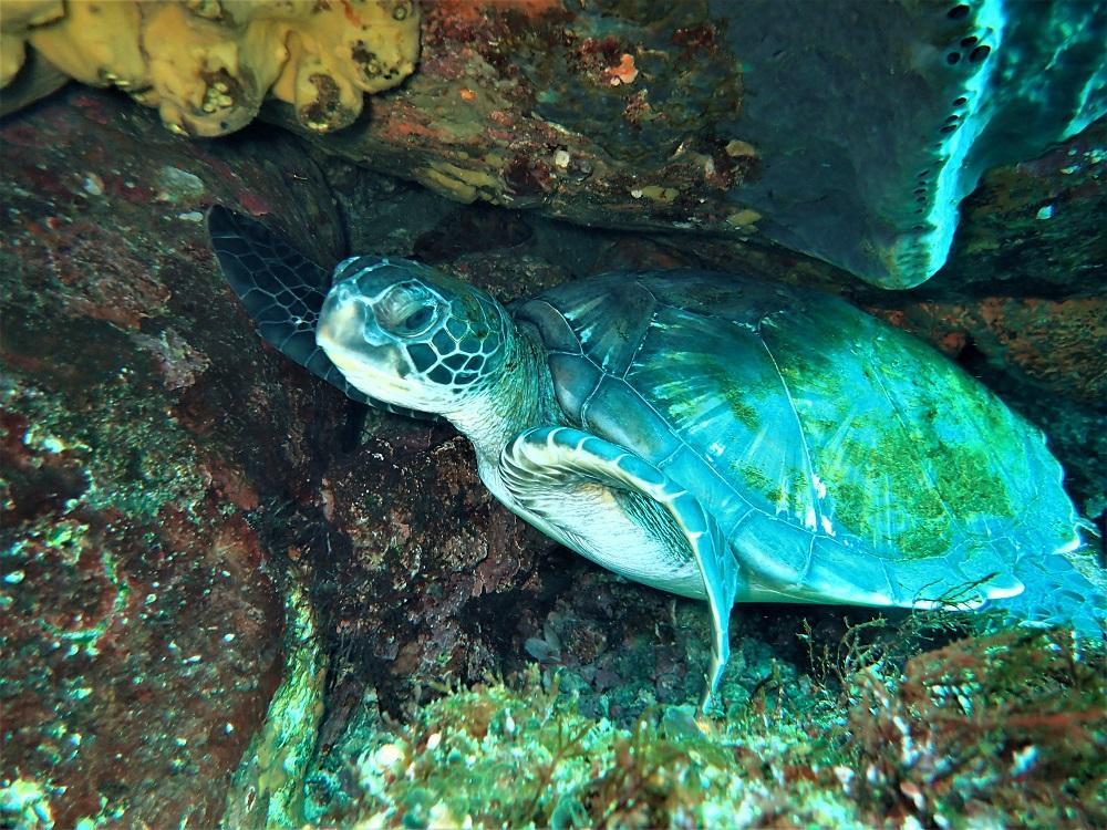 ブリマチに住む子ウミガメ
