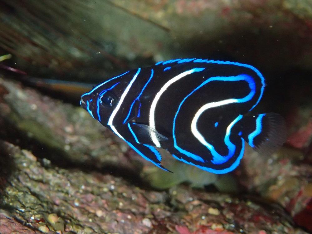 さらに鮮やかサザナミヤッコ幼魚