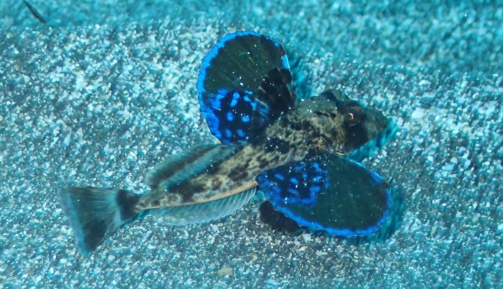 ホウボウ幼魚
