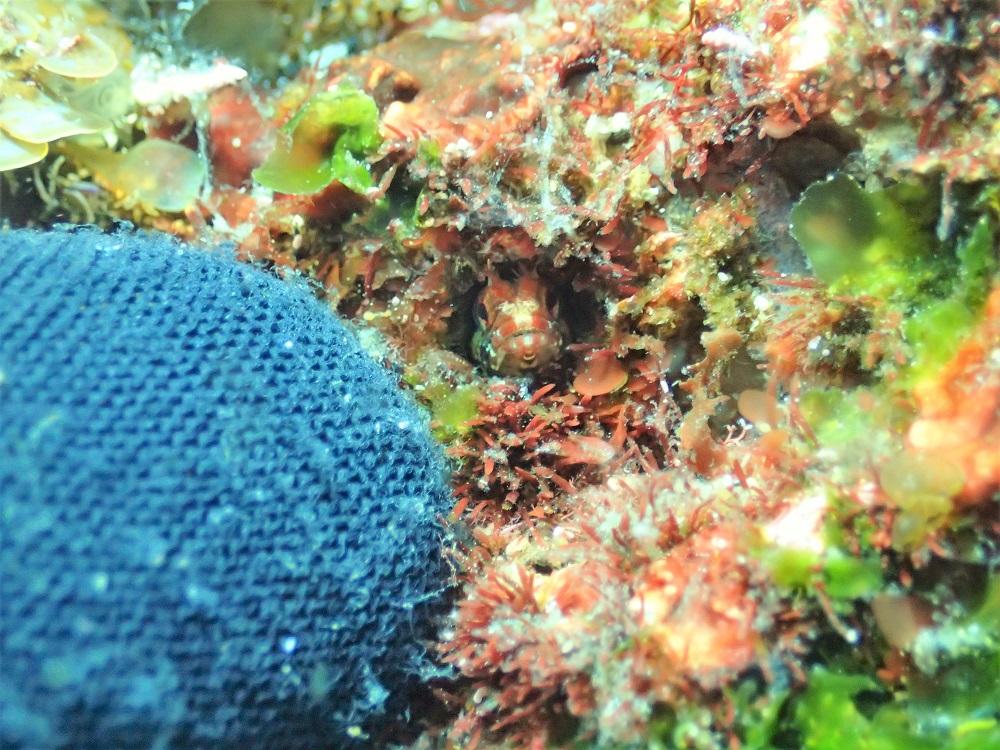 極小トウシマコケギンポ幼魚