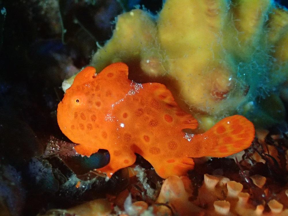 イロカエルアンコウ幼魚