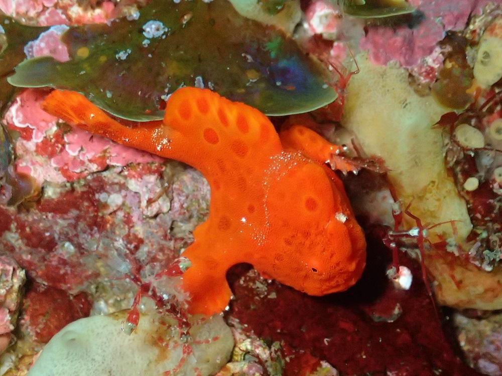 動じて、動かず、イロカエルアンコウ幼魚