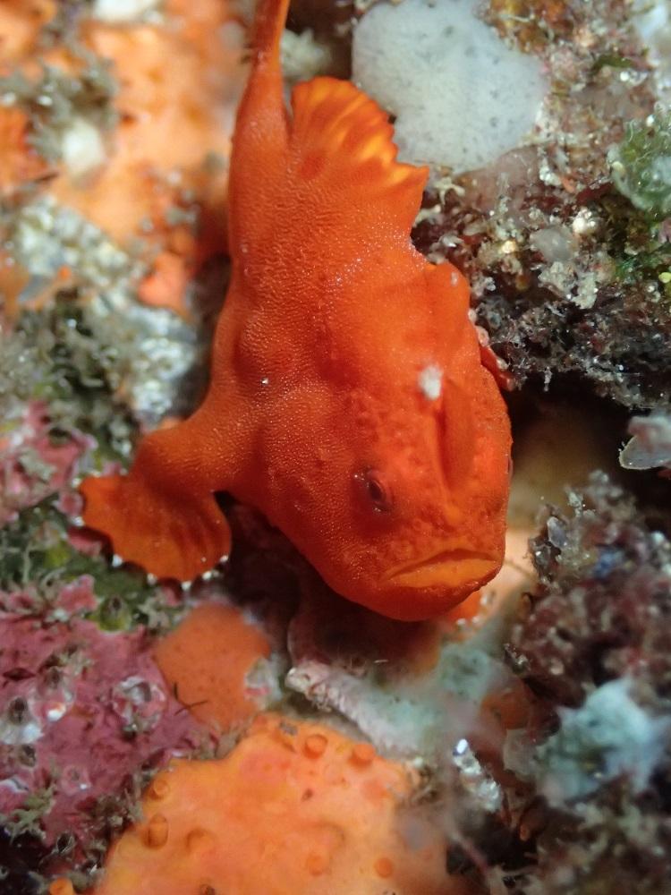 すでに鉄板ネタ・イロカエルアンコウ幼魚