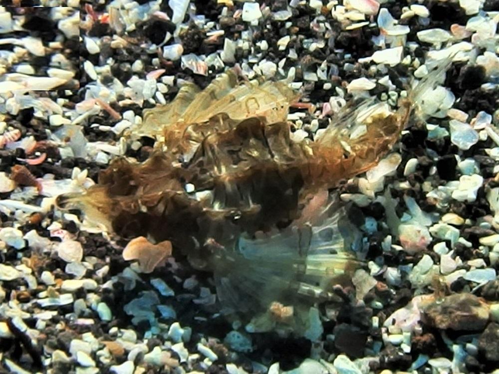 ウミテング幼魚 Photo by Mr.HARADA