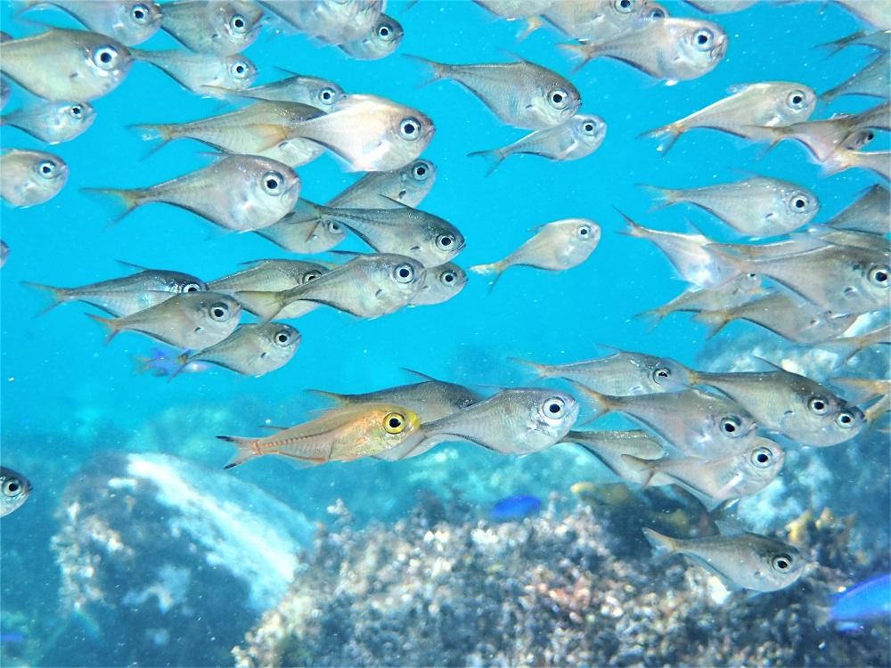 ミバミハタンポの群れに混じるキンメモドキ