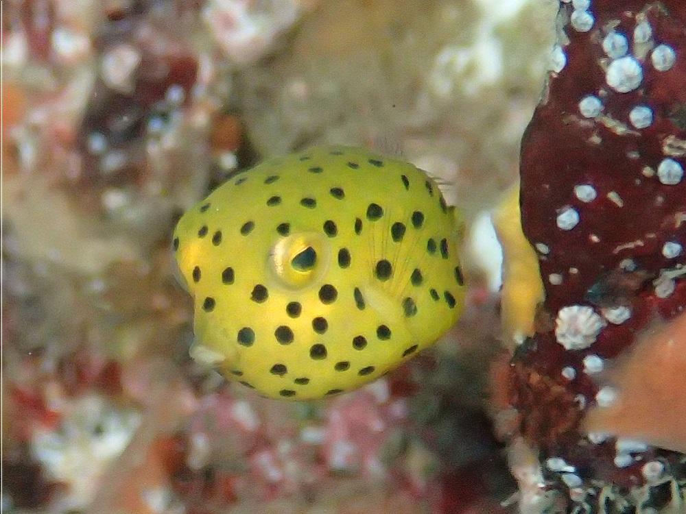 体長1cm・ミナミハコフグ幼魚