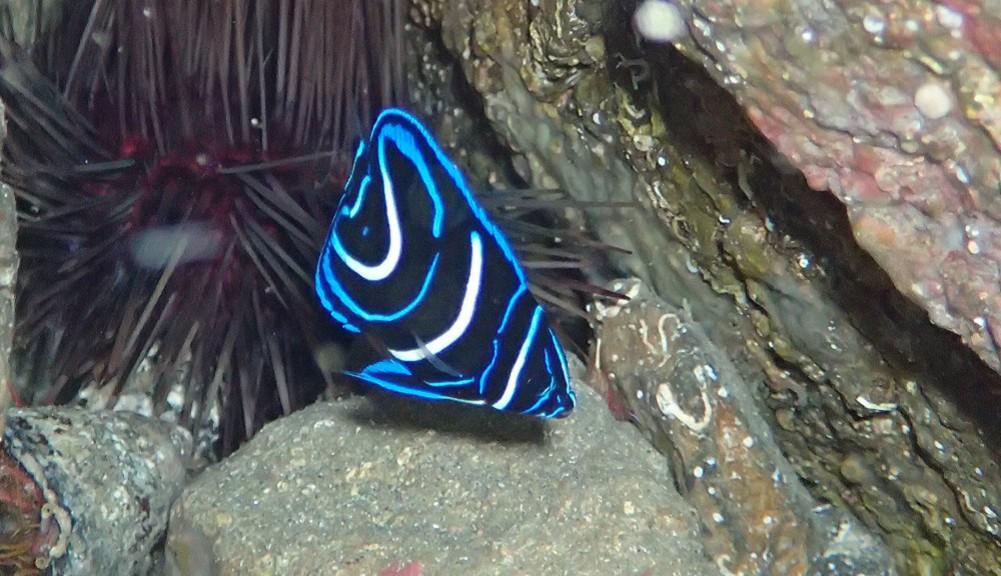 サザナミヤッコ幼魚・体長10cm