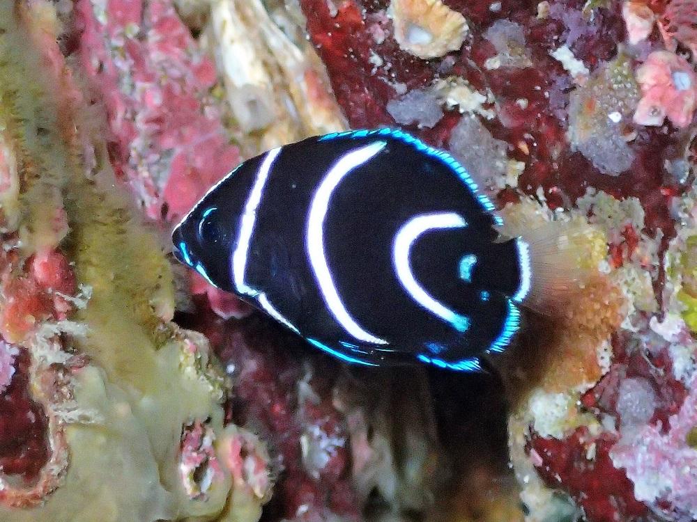 小さなサザナミヤッコ幼魚