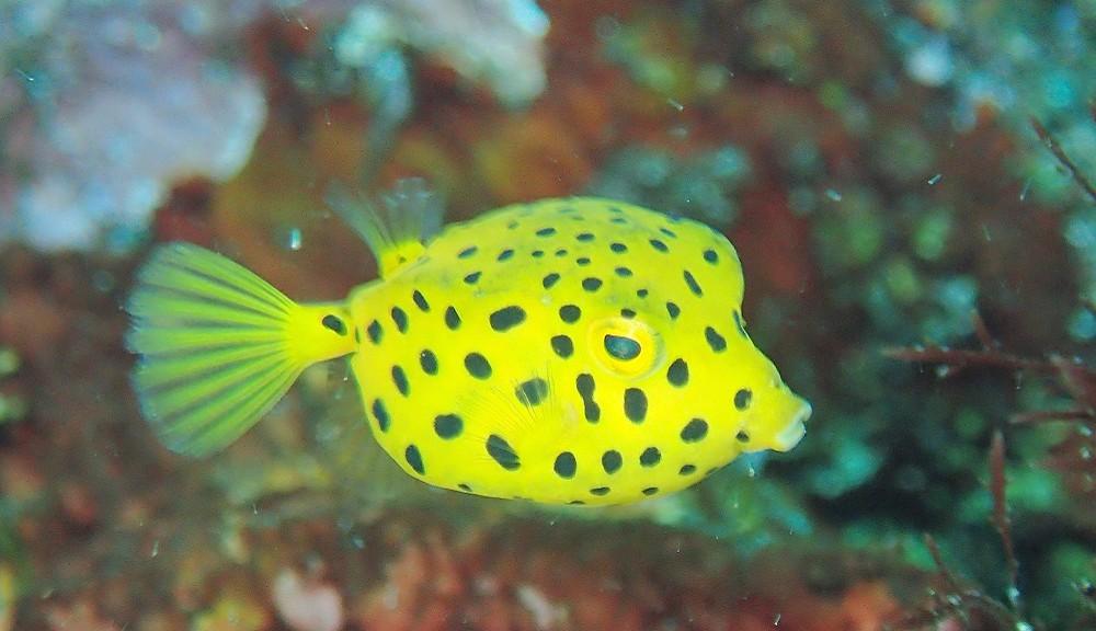 色鮮やかミナミハコフグ幼魚