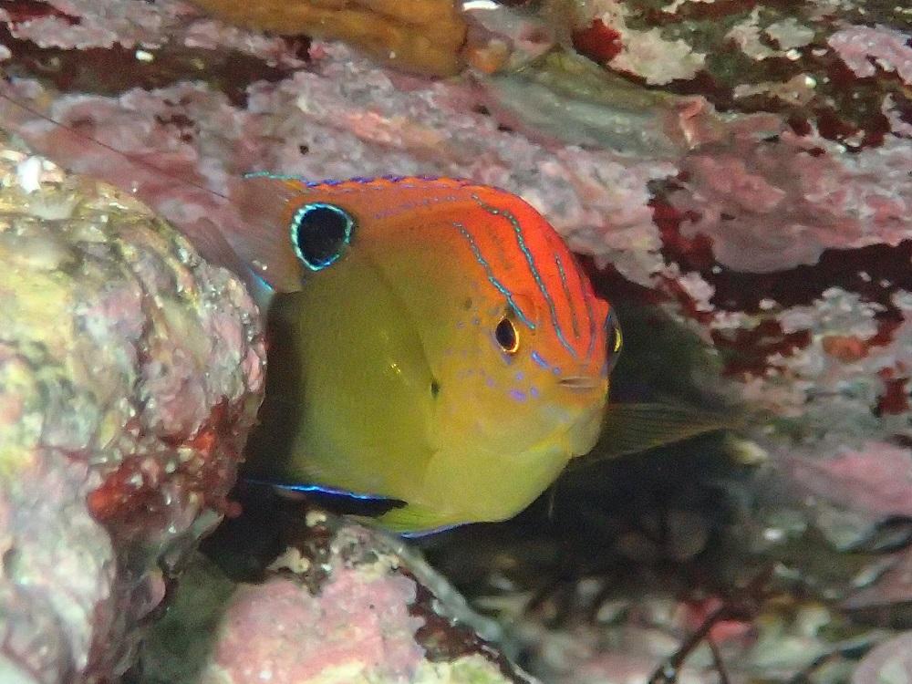 送り出しの入り江にて、クロメガネスズメダイ幼魚