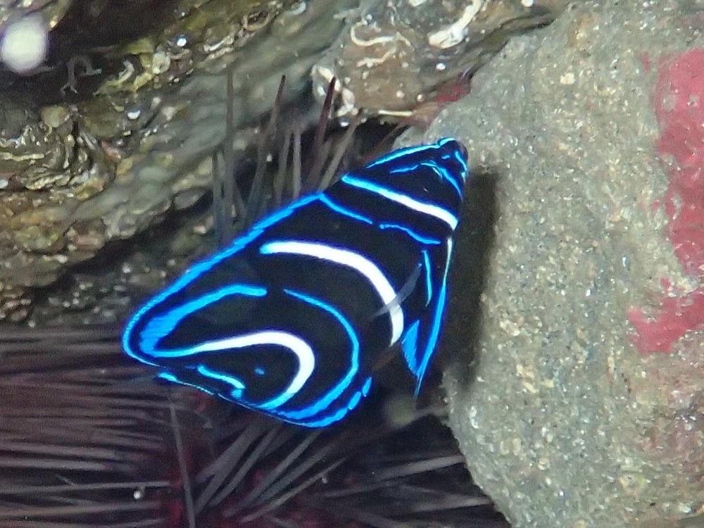 OLYMPUS DIGITAL CAMERA 順調に成長中、サザナミヤッコ幼魚