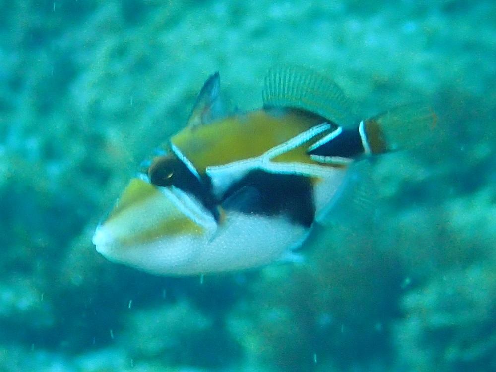 タスキモンガラ幼魚