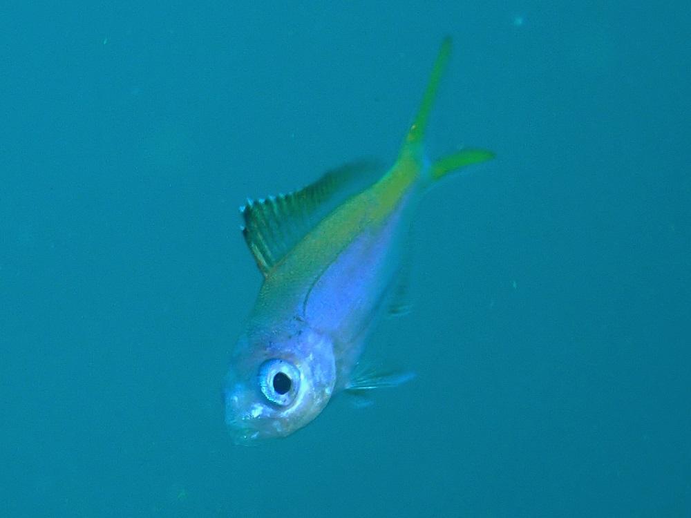 ウメイロモドキ幼魚