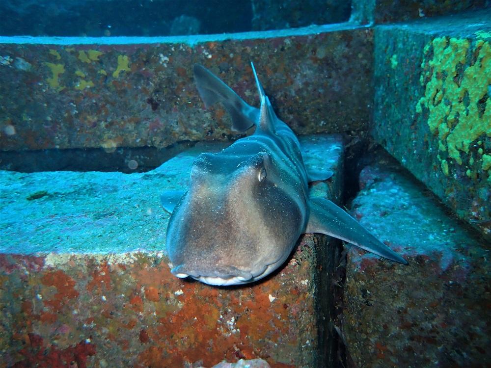 漁礁が住家、ネコザメ