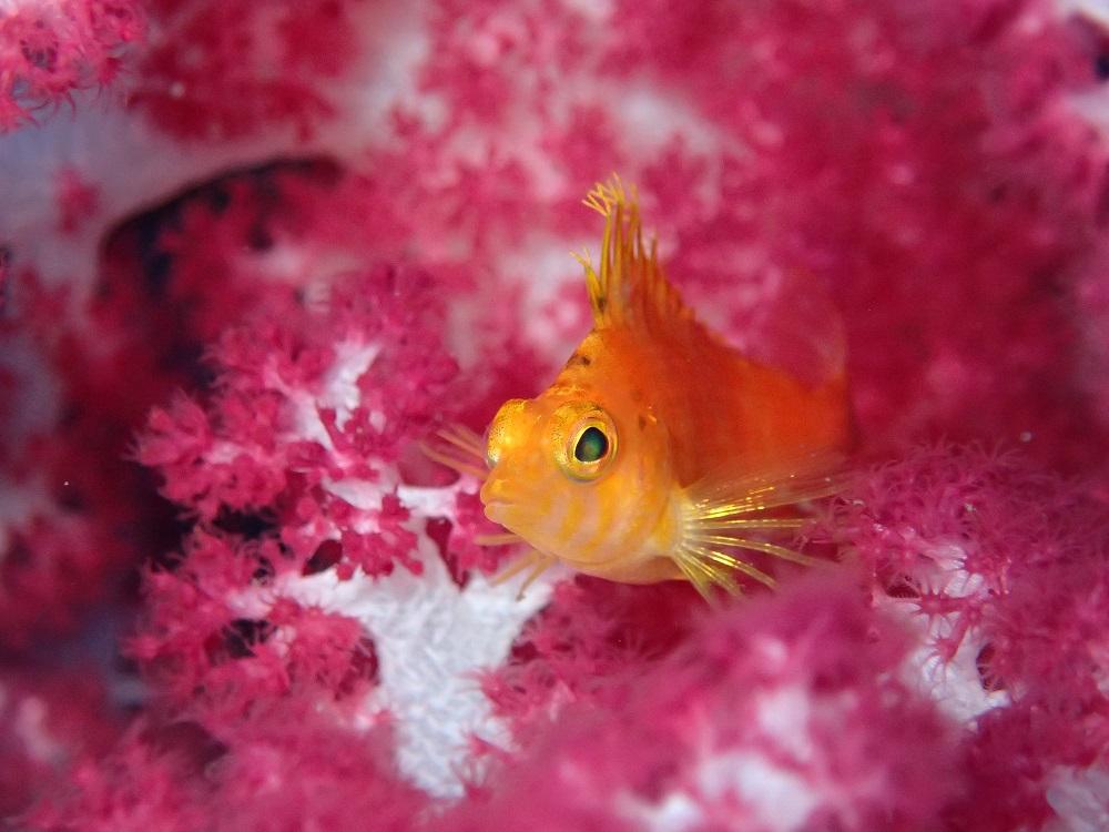 かなり綺麗さ炸裂、オキゴンべ幼魚