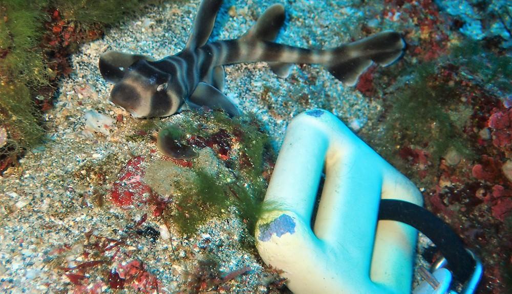 ハッチアウト直後、ネコザメ幼魚