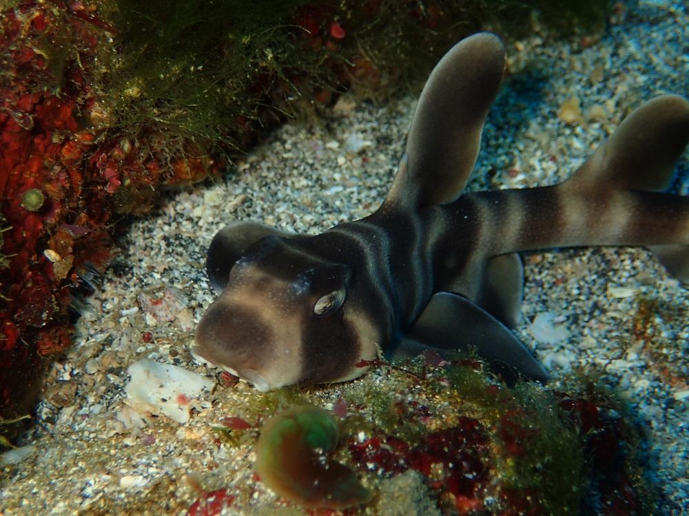 ネコ目なネコザメ幼魚