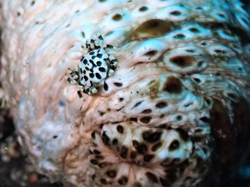 トラフナマコに寄生するナマコマルガザミ
