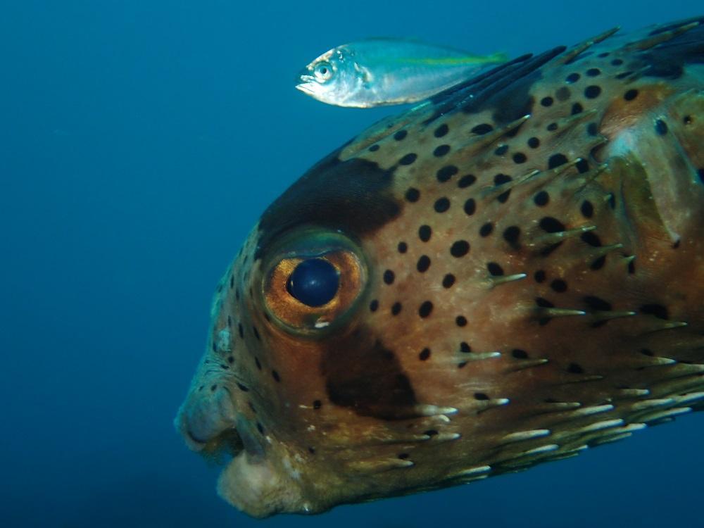 ハリセンボンとシマアジ幼魚