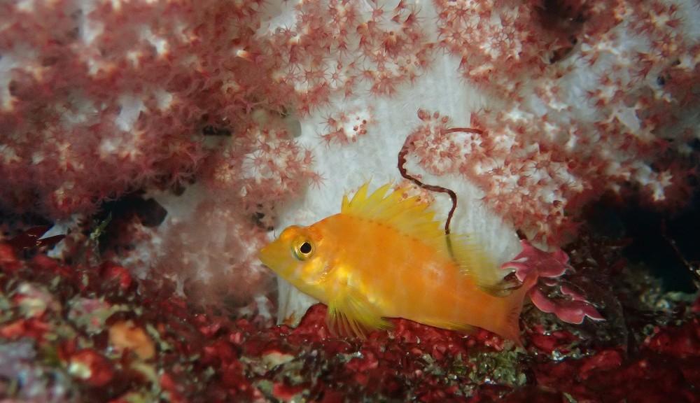 オキゴンベ幼魚