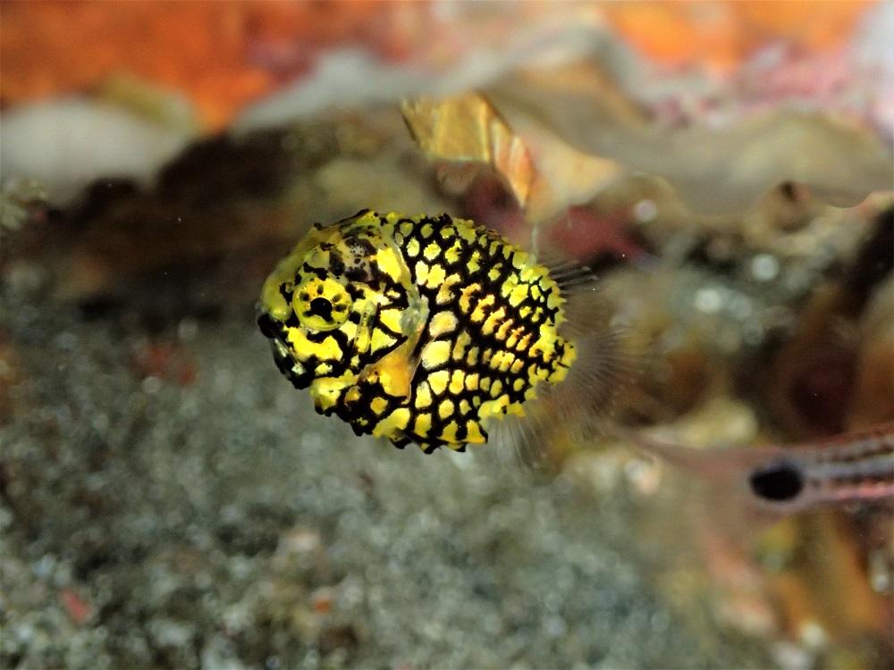 1円玉の大きさ、マツカサウオ幼魚