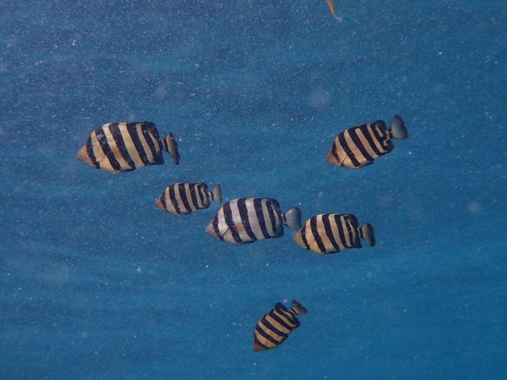 イシダイ幼魚の群れ