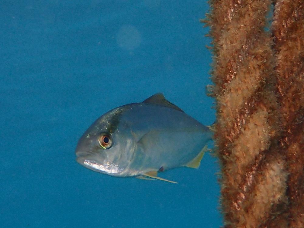 カンパチ幼魚、ロープから、はい!ひょっこりはん