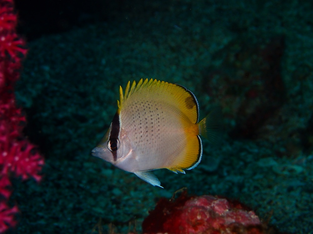 コクテンカタギ幼魚