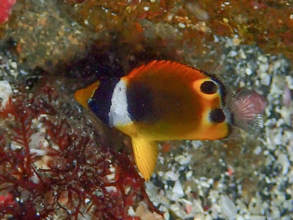 チョウハン幼魚