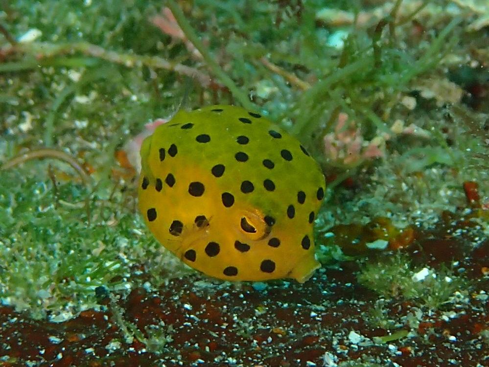 サイコロのようなミナミハコフグ幼魚