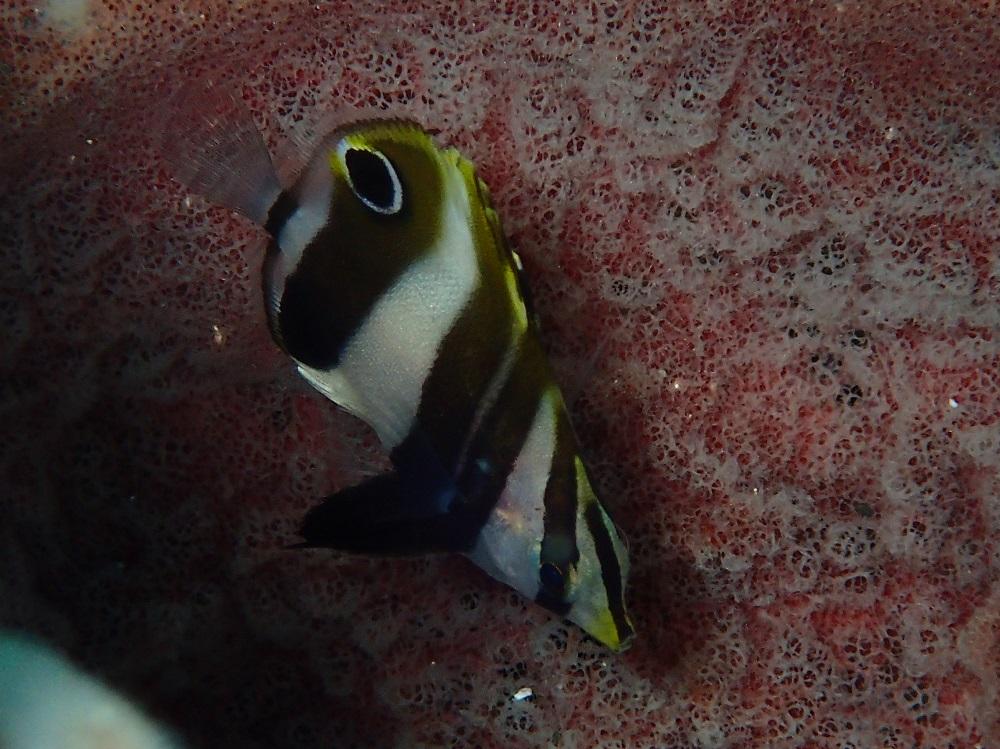 タキゲンロクダイ幼魚
