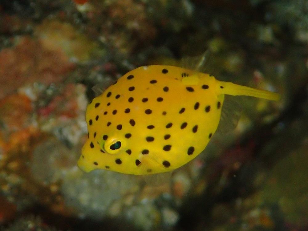 人気のミナミハコフグ幼魚