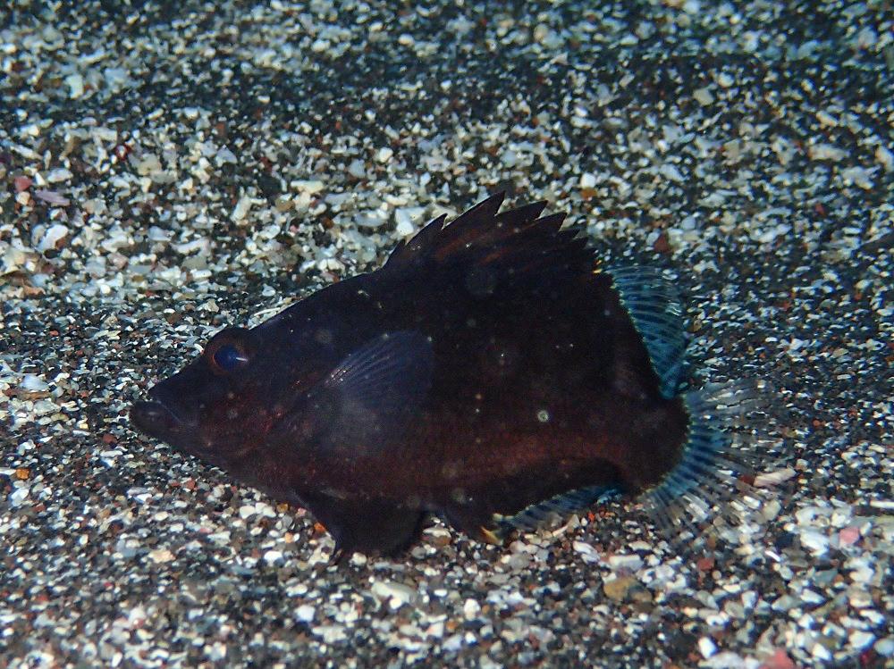 ヒゲダイ幼魚