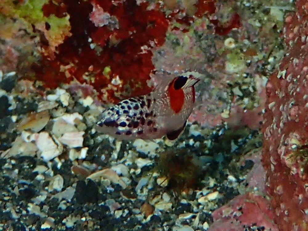 極小カンムリベラ幼魚