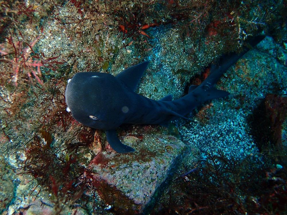 ドチザメ幼魚