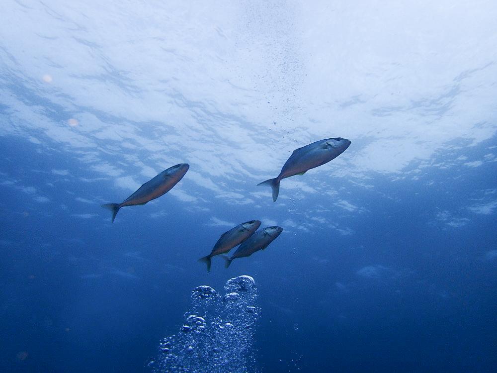 アタックを掛けるカンパチ幼魚の群れ