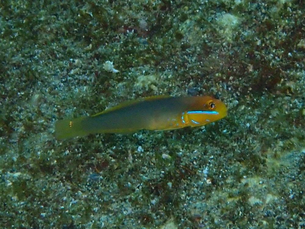 アカハチハゼ幼魚